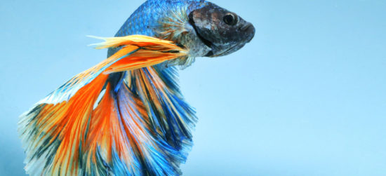 poisson combattant Betta splendens