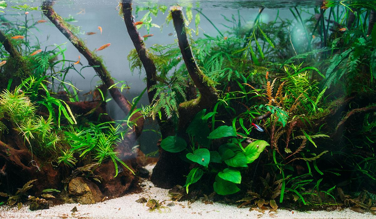 Cycle azote aquarium